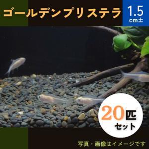 (熱帯魚・カラシン)ゴールデンプリステラ MSサイズ 30匹|mame-store