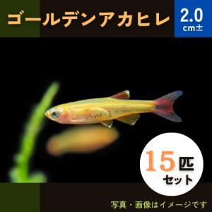 (熱帯魚・コイ)ゴールデンアカヒレ Mサイズ 30匹|mame-store