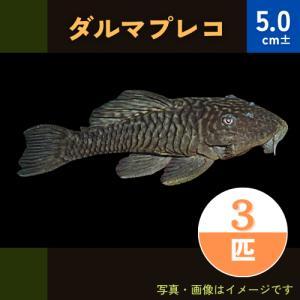 (熱帯魚・プレコ)ダルマプレコ 5cm± 3匹 mame-store
