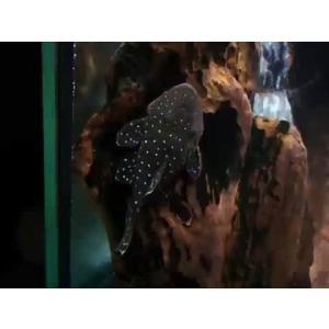 (熱帯魚・プレコ)スターライトグローボ 5cm± 1匹|mame-store