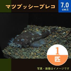 (熱帯魚・プレコ)マツブッシープレコ 4cm± 1匹 mame-store