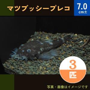 (熱帯魚・プレコ)マツブッシープレコ 4cm± 3匹 mame-store