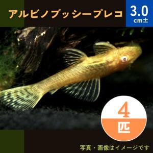 (熱帯魚・プレコ)アルビノブッシープレコ 3cm± 4匹|mame-store