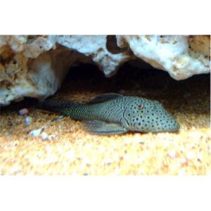 (熱帯魚・プレコ)ブロンズプレコ 4cm± 3匹|mame-store