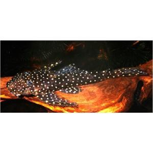 (熱帯魚・プレコ)バットマンアンジェリクスプレコ 5cm± 1匹|mame-store