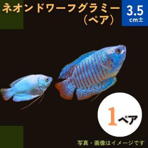 (熱帯魚・アナバス)ネオン・ドワーフグラミー Mサイズ 1ペア|mame-store
