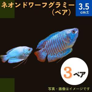 (熱帯魚・アナバス)ネオン・ドワーフグラミー Mサイズ 3ペア|mame-store