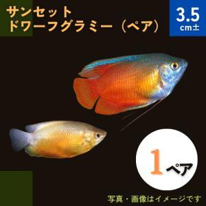 (熱帯魚・アナバス)サンセット・ドワーフグラミー Mサイズ 1ペア|mame-store