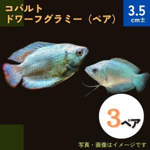 (熱帯魚・アナバス)コバルト・ドワーフグラミー Mサイズ 3ペア|mame-store