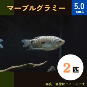 (熱帯魚・アナバス)マーブル・グラミー SMサイズ 5匹|mame-store
