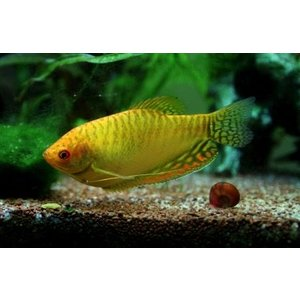 (熱帯魚・アナバス)ゴールデン・グラミー SMサイズ 3匹|mame-store