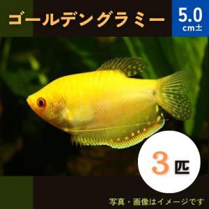 (熱帯魚・アナバス)ゴールデン・グラミー SMサイズ 7匹|mame-store