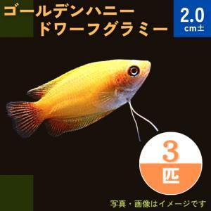 (熱帯魚・アナバス)ゴールデンハニー ・ドワーフグラミー SMサイズ 7匹|mame-store