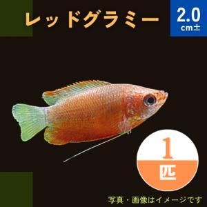 (熱帯魚・アナバス)レッド・グラミー SMサイズ 3匹|mame-store