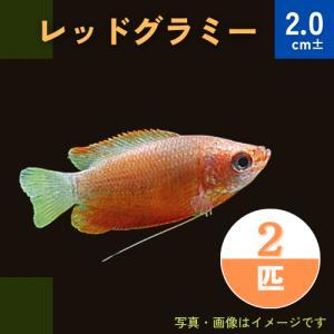 (熱帯魚・アナバス)レッド・グラミー SMサイズ 5匹|mame-store