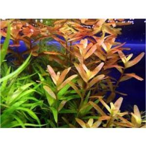 (有茎草・水草) ロタラ ロトンジフォリアレッド 水中葉 (3束分)|mame-store