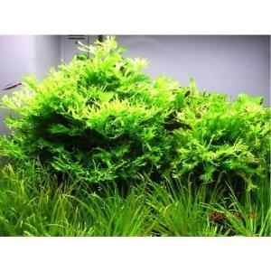 (水草)ミクロソリウム・ウェンディーローブ(5束分) mame-store