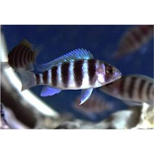 (熱帯魚・アフリカンシクリッド)CY.フロントーサ キゴマ 7ストライプ (独便)  4cm±  3匹|mame-store