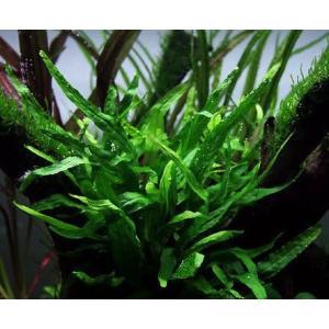 (水草)ミクロソリウム・プテロプスspフィリピン(3Pot)|mame-store