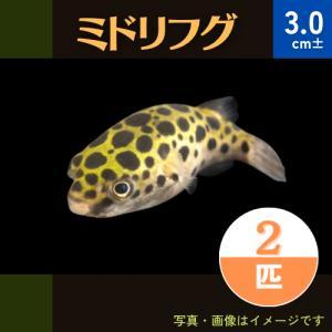(熱帯魚・フグ) ミドリフグ Mサイズ 2匹...