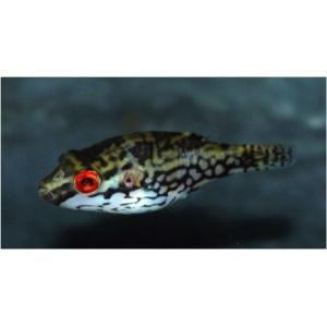 (熱帯魚・フグ) アカメフグ Sサイズ 1ペア|mame-store