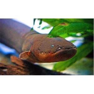 (熱帯魚・汽水魚・その他)デンキウナギ 15cm± 1匹|mame-store