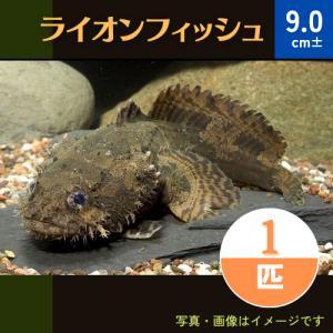 (熱帯魚・汽水魚・その他)ライオンフィッシュ 10cm± 1匹|mame-store