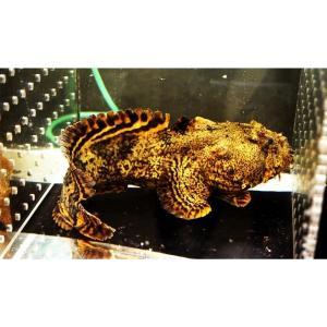 (熱帯魚・汽水魚・その他)ライオンフィッシュ 10cm± 2匹|mame-store