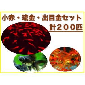 (金魚セット)金魚 200匹 おまかせセット|mame-store