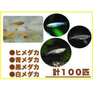 (メダカセット)メダカ 100匹 おまかせセット|mame-store