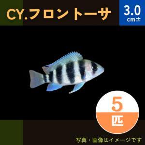 (熱帯魚・アフリカンシクリッド)CY.フロントーサ 3cm± 5匹|mame-store