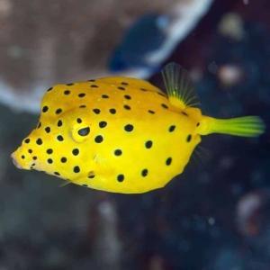 (海水魚・フグ)ミナミハコフグ 4cm± 2匹 mame-store
