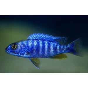 (熱帯魚・アフリカンシクリッド)HAPL.アーリー  6-7cm 1匹|mame-store