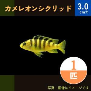 (熱帯魚・アフリカンシクリッド) カメレオン・シクリッド SM 3匹|mame-store