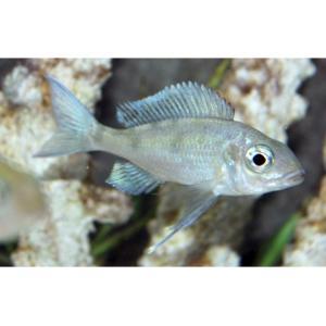 (熱帯魚・アフリカンシクリッド) オフタルモティラピア・ベントラリス 5−6cm 3匹|mame-store