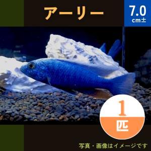 (熱帯魚・アフリカンシクリッド)HAPL.アーリー   9cm± 3匹|mame-store