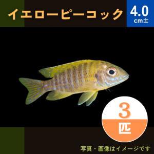 (熱帯魚・アフリカンシクリッド)イエローピーコック  7cm± 1匹|mame-store