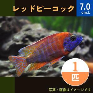 (熱帯魚・アフリカンシクリッド)レッドピーコック  9−10cm 1匹|mame-store