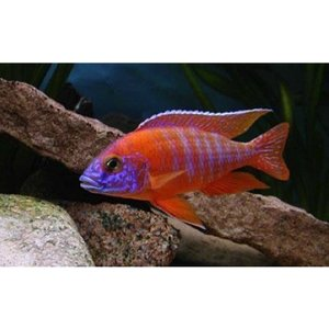 (熱帯魚・アフリカンシクリッド)レッドピーコック  5cm± 2匹|mame-store