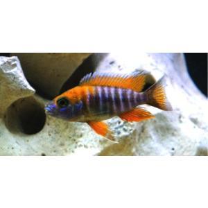 (熱帯魚・アフリカンシクリッド)アウロノカラ・ヤコブフレイベルギィ  3cm± 1匹|mame-store