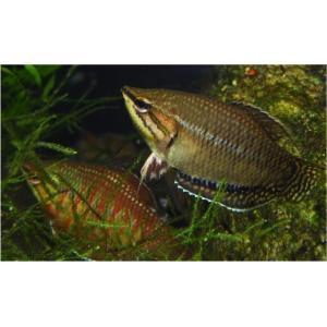 (熱帯魚・アナバス) ゼブラチョコレートグラミー 4cm± 1匹|mame-store