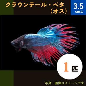 (熱帯魚・ベタ・アナバス)ベタ クラウンテール オス 色おまかせ 1匹|mame-store