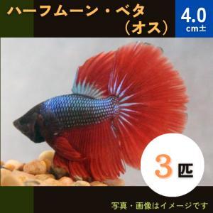 (熱帯魚・ベタ・アナバス)ベタ ハーフムーン オス 色おまかせ 3匹|mame-store