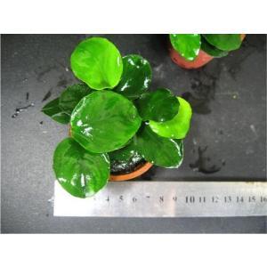 (水草)アヌビアスバルテリー・ラウンドリーフ(1Pot)|mame-store