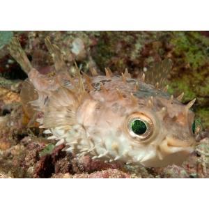 (海水魚・フグ)メイタイシガキフグ 13cm± 2匹 mame-store