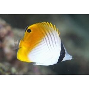 (海水魚・チョウチョウウオ) トゲチョウチョウウオ 5cm± 3匹|mame-store