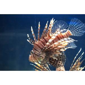 (海水魚・カサゴ)ハナミノカサゴ 9cm± 1匹 mame-store