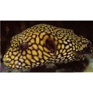 (海水魚・フグ)マップトードフィッシュ 10cm± 1匹 mame-store