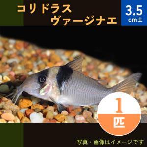 (熱帯魚・コリドラス)コリドラス・ヴァージナエ (ワイルド) Mサイズ 1匹|mame-store
