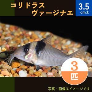 (熱帯魚・コリドラス)コリドラス・ヴァージナエ (ワイルド) Mサイズ 3匹|mame-store